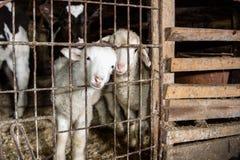 Lamm i en bur Fotografering för Bildbyråer