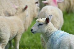 Lamm i fältet, Abbotsbury Arkivfoton