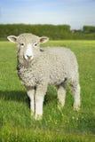 Lamm i grönt fält Arkivbild