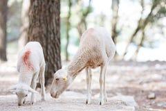 Lamm i skog Arkivbild