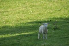 Lamm i skugga Arkivbilder