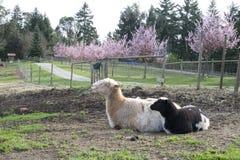 Lamm i vår Royaltyfria Foton