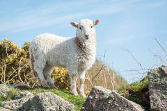 Lamm i vår Royaltyfri Bild