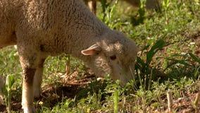 Lamm isst Gras lizenzfreies stockbild