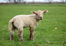 Lamm mit braunen Wollen Stockfoto