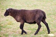 Lamm mit brauner Wolle Stockbilder