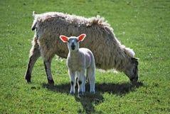 Lamm mit Mutter Lizenzfreies Stockbild