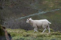 Lamm ovanför Cwm Gwaun royaltyfria bilder