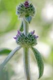 Lamm`-s-öra växter arkivbilder