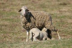 Lamm saugen die Schafe stockfoto