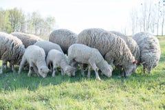 Lamm som betar i lantligt fält Royaltyfria Bilder