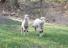 Lamm som betar i lantligt fält Arkivfoto