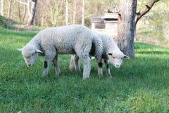 Lamm som betar i lantligt fält Arkivbild