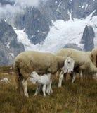 Lamm som diar från dess moder Arkivfoto