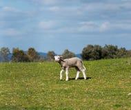 Lamm som går i gräset Vår och solig dag Alburquerque Extremadura, Spanien arkivfoton