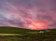 Lamm som har frukosten på en lantgård i morgonskymning royaltyfria foton
