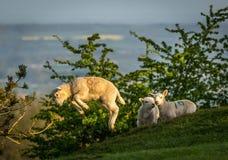 Lamm som hoppar från en Dovers kulle som gå i flisor Campden arkivfoto