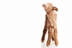 Lamm som isoleras på vit bakgrund Fotografering för Bildbyråer