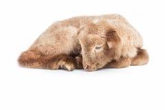 Lamm som isoleras på vit bakgrund Royaltyfri Foto