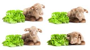 Lamm som isoleras på vit bakgrund med sallad som v Royaltyfri Foto