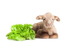 Lamm som isoleras på vit bakgrund med sallad som ve Arkivfoto