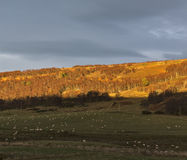 Lamm-Sonnenuntergang Lizenzfreie Stockfotos
