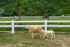 Lamm und Mutter stockfotos