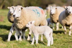 Lamm und Mutterschaf Stockfotos