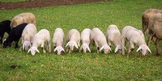 Lamm und Schafe, die in einer Linie weiden lassen Stockbild