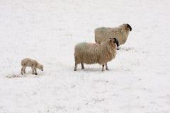 Lamm und Schafe im Schnee Lizenzfreies Stockbild