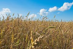 Lammas day in summer or Lughnasadh. royalty free stock image