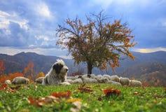 Lammeren in de herfst in de bergen Royalty-vrije Stock Foto's