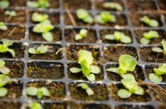 Lammeren in de padievelden De zoon Thailand van Hong van Mae Royalty-vrije Stock Foto