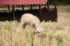 Lammeren in de padievelden De zoon Thailand van Hong van Mae Stock Afbeeldingen