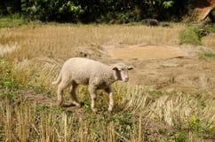 Lammeren in de padievelden De zoon Thailand van Hong van Mae Stock Afbeelding