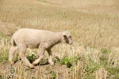 Lammeren in de padievelden De zoon Thailand van Hong van Mae Royalty-vrije Stock Foto's