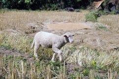 Lammeren in de padievelden De zoon Thailand van Hong van Mae Stock Foto's
