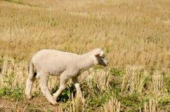 Lammeren in de padievelden De zoon Thailand van Hong van Mae Stock Fotografie