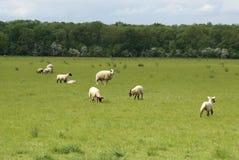 Lammeren en ooi op een gebied in de Lente schapen in het platteland stock foto