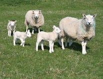 Lammeren en schapen op gebied stock foto