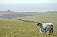 Lammeren en schapen, Sussex Royalty-vrije Stock Foto's