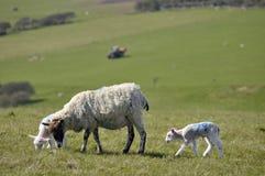 Lammeren en schapen, Sussex Royalty-vrije Stock Afbeeldingen