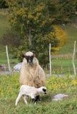 Lammeren en sheeps Stock Fotografie