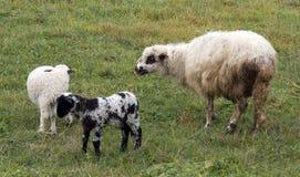 Lammeren en sheeps Royalty-vrije Stock Afbeeldingen