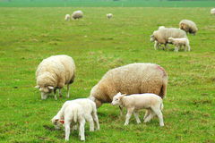 Lammeren met schapen Stock Foto's
