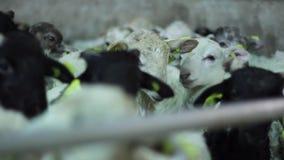 Lammeren van de vrachtwagen aan het landbouwbedrijf worden leeggemaakt dat stock footage