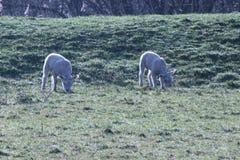 lammeren van een schaap op een weide met dauwdalingen in hol I van Capelle aan Stock Afbeeldingen