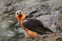 Lammergeier или бородатый хищник, barbatus Gypaetus, портрет детали редкой птицы горы, сидя на утесе, животное в каменном hab Стоковая Фотография