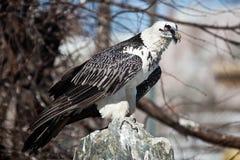 Lammergeier, avvoltoio barbuto, barbatus del Gypaetus Immagine Stock