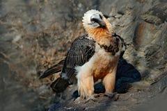 Lammergeier or Bearded Vulture, Gypaetus barbatus, detail portrait of rare mountain bird, sitting on the rock, animal in stone hab Royalty Free Stock Photos